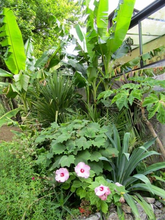 Hibiscus, senecio petasitis, jubaea, musa sikkimensis...